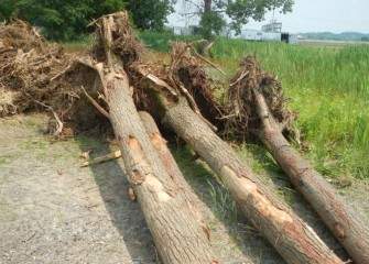 Logs with roots attached will be placed in the creek, improving fish habitat.