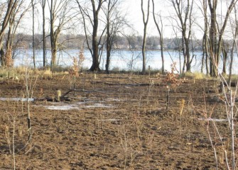 Existing silver maples and a swamp white oak were left standing along the shoreline (background). Care was taken to not disturb the shallow delicate root systems of the trees while working nearby.