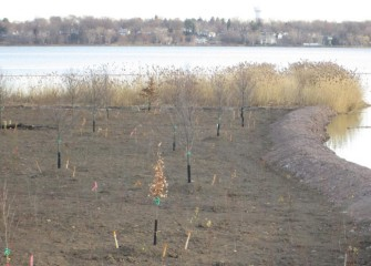 Swamp white oaks and red maples are the tallest plantings in these newly recreated forested wetlands. Other trees planted include silver maple, black gum, hornbeam, yellow and river birch, butternut, and hickory.