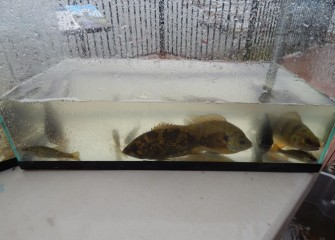 Fish were placed in temporary holding tanks.  From left to right are a juvenile largemouth bass (corner), rock bass, two bluegill, a yellow perch, and another juvenile largemouth bass (small fish in bottom right corner).