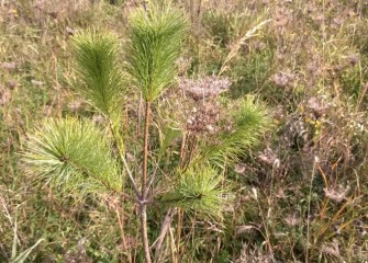 This young white pine and many other native grasses, shrubs, and trees previously planted are now thriving in the reestablished Geddes Brook habitat areas.