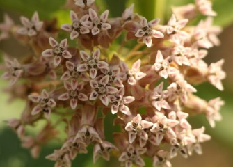 Common milkweed is essential to certain organisms that only eat milkweed, such as larvae of the monarch butterfly.