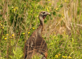 A Wild Turkey surveys its surrounding environment.