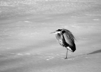 """Someone please… TURN UP THE HEAT"" Great Blue Heron Photo by Cheryl Lloyd"