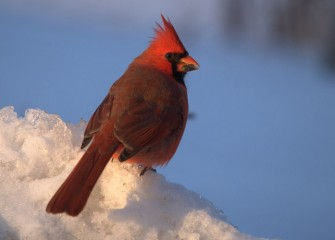 """Conspicuous"" Northern Cardinal (male) Photo by Cheryl Lloyd"