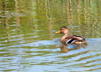 A female Mallard swims in the pond at wetlands on the former LCP site.