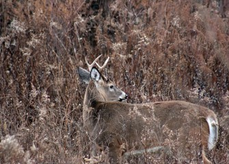 White-tailed deer grow a thicker coat for winter. This is a young male, or buck, at the LCP wetlands.