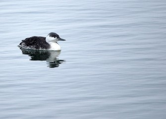 """Red-throated Loon"" (non-breeding plumage) Photo by Cheryl Lloyd"