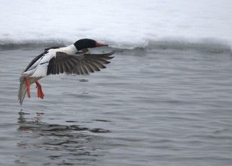 """Braking"" Common Merganser (drake) Photo by Cheryl Lloyd"