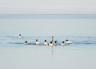 """Merganser Diet"" Photo by Greg Craybas"