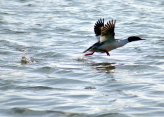 """Common Merganser Taking Flight"" Photo by Duane St. Onge"