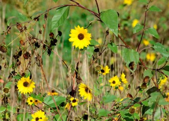 Common sunflowers (Helianthus annuus) planted in an earlier restored habitat area bloom into fall. Common sunflower, a native plant, provides excellent cover for wildlife and seeds for many species of birds.