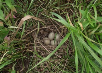 A duck's nest is nestled in high brush near the creek.