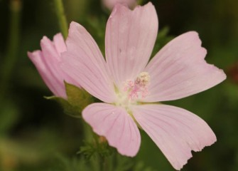 Native wild geranium produces beautiful 5-petaled flowers.