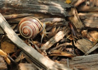 A banded wood snail, or grove snail, benefits the ecosystem by feeding on decaying plant and animal matter.