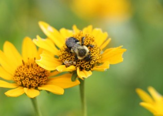 A bumble bee drinks the nectar from smooth oxeye, also called oxeye sunflower, or false sunflower.