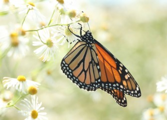 The brilliantly colored monarch butterfly, seen summer in the northern part of the United States, migrates up to 3000 miles to winter grounds.