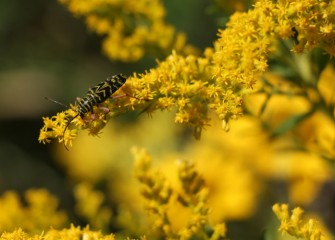 An adult locust borer beetle feeds on the pollen of native flat-top goldenrod.