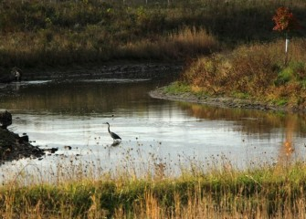 A Great Blue Heron wades in calm Nine Mile Creek waters further upstream, where restoration took place 2012-2013.