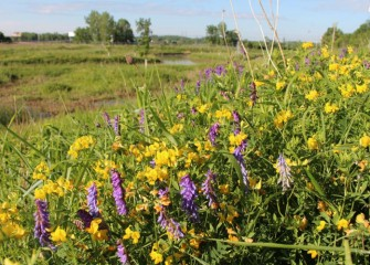 Yellow birdsfoot trefoil blooms along the banks of Nine Mile Creek (background), along with cow vetch (purple flower).
