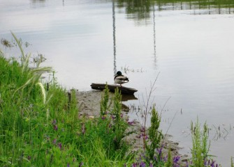 A male Mallard naps next to a quiet Nine Mile Creek.