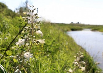 Foxglove beardtongue, flowering next to the creek, is a native perennial favored by hummingbirds and other pollinators.