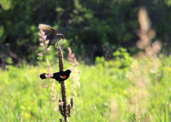 A sparrow lands atop a stalk of mullein past flowering, where a Red-winged Blackbird is perched.