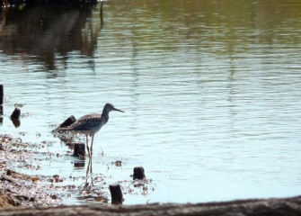 A Lesser Yellowlegs wades in Nine Mile Creek seeking prey in shallow waters.