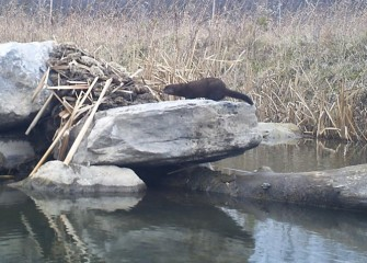 The wildlife camera captures an American mink that built a den around some rocks.