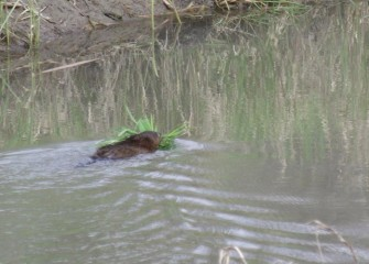 A muskrat, a species native to North America, carries reeds it harvested to build a lodge.