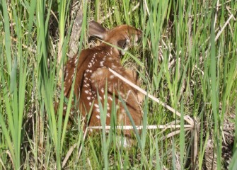 A white-tailed deer fawn hides among tall grasses and cattails.