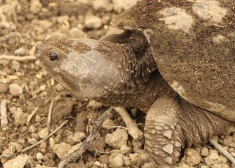The Common Snapping Turtle spends most of its life in an aquatic environment, leaving usually only to breed.
