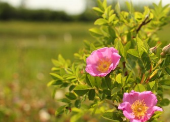 Virginia rose blooms in Geddes Brook wetlands.