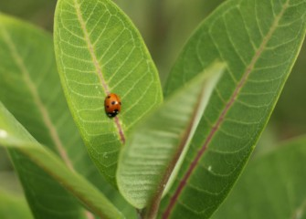 A ladybug beetle rests on swamp milkweed.