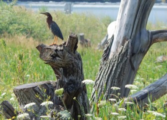 A Green Heron perches on old wood placed as a habitat structure.  Green Herons prefer to nest in shrubs or trees near wetlands where they can hunt fish.