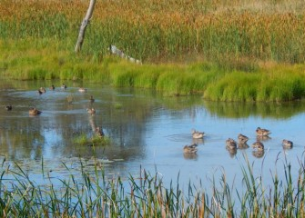Mallards congregate in the shallow waters of the wetlands, where they feed on small fish, invertebrates and plants.
