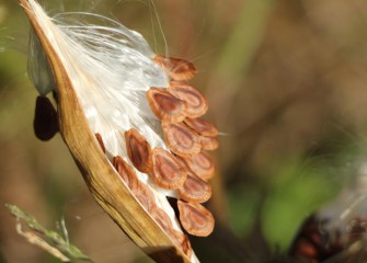 Common milkweed seeds will soon fly away, distributed by the wind.