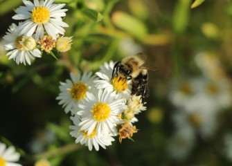 A bumble bee feeds on nectar from white heath aster, which continues to bloom in fall.