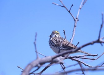 The Savannah Sparrow is a migrating songbird with distinct yellow marking around its eyes.