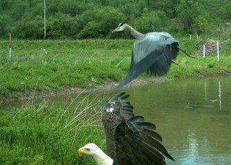 A Bald Eagle swoops in to claim a Great Blue Heron's prey, chasing the heron off.