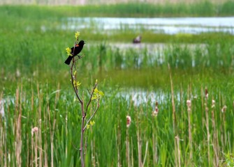 A male Red-winged Blackbird (Agelaius phoeniceus) sings out over the wetlands.