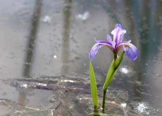 The native blue flag iris (Iris versicolor) thrives in marshes, forested wetlands and wet meadows.