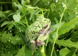 The Eastern Grey Tree Frog, normally grey with black lines, is able to camouflage itself green to match its surroundings.