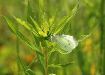 Cabbage white butterflies are white with black markings on their wings, differing by sex.  This one appears to be a female.
