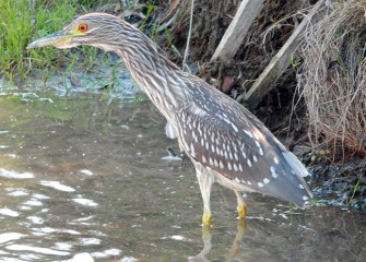 A juvenile Black-crowned Night-Heron is spotted in shallow muddy water where it likes to forage, usually at night.