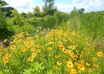 Black-eyed Susans (yellow), cattails (tall right) and other native plants bloom in the LCP wetlands.