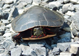 An Eastern Painted Turtle peers out from its shell.
