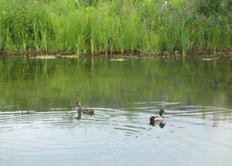 A female (left) and a male Mallard swim in quiet waters.  This is likely a breeding pair with a nest concealed nearby.