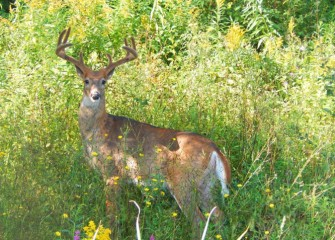 A white-tailed deer buck pauses, looking directly into the camera.
