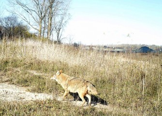 An Eastern coyote passes through on an unseasonably warm day.  Coyotes maintain a territory with a mate, pursuing an omnivorous diet that changes according to the season.